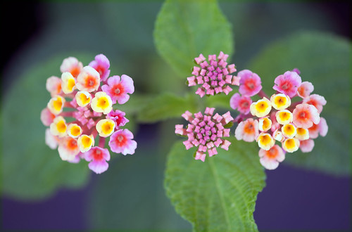 Lantanas in purple shade