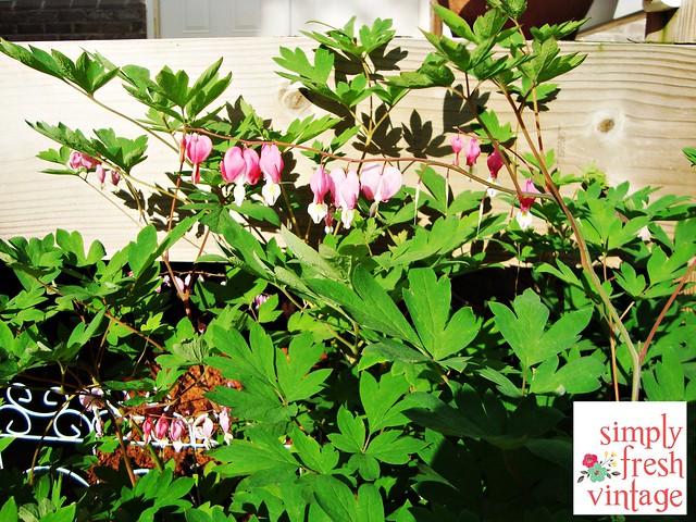 Bleeding Heart - May Garden ... Simply Fresh Vintage