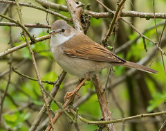 Holder_MG_0132 Common Whitethroat (Sylvia communis), Brandon Marsh, Warwickshire 29 April 2013