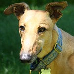 Greyhound Adventures at Lake Waban, Wellesley MA June 9th 2013