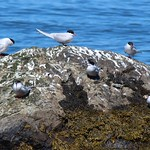 Arctic Terns - by Sea Kayaking Anglesey