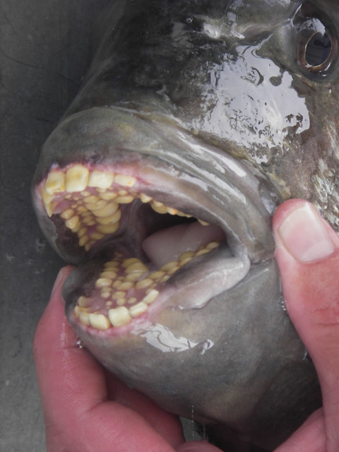 Sheepshead Fish Teeth