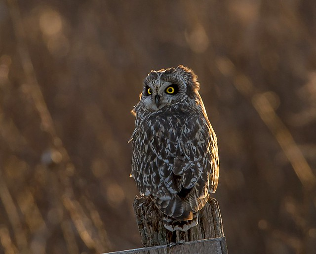 Short-eared at Sunset