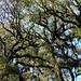 Trees with moss - Árboles con musgo; Región Mixes, Oaxaca, Mexico por Lon&Queta