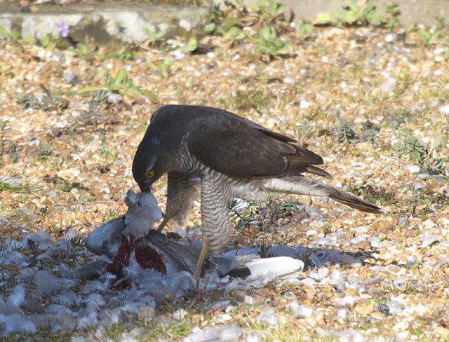 DSC_6177 Female Sparrowhawk with its prey