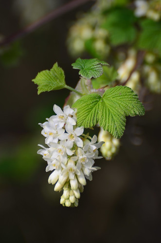 <p><i>Ribes sanguineum</i>, Grossulariaceae<br /> New Brighton Park, Vancouver, British Columbia, Canada<br /> Nikon D5100, 70-300 mm f/4.5-5.6<br /> March 23, 2013</p>