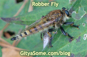 Promachus rufipes Robberfly