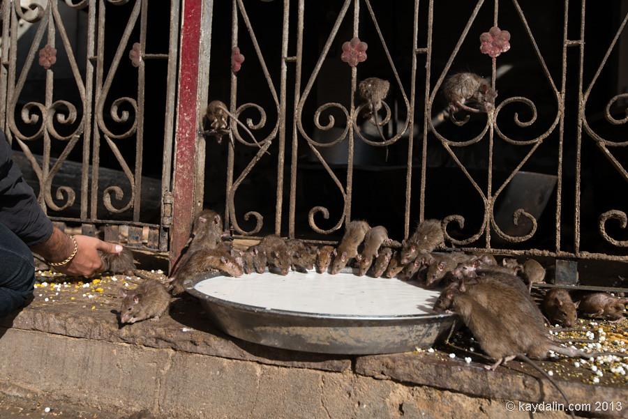 Красный храм в Биканер. Крысы