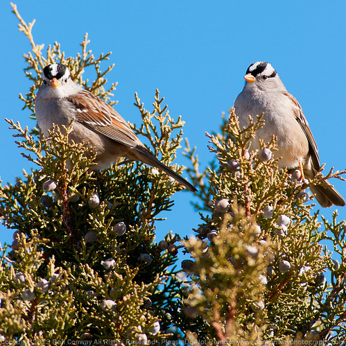 White-crowned Sparrows by Dan W Conway