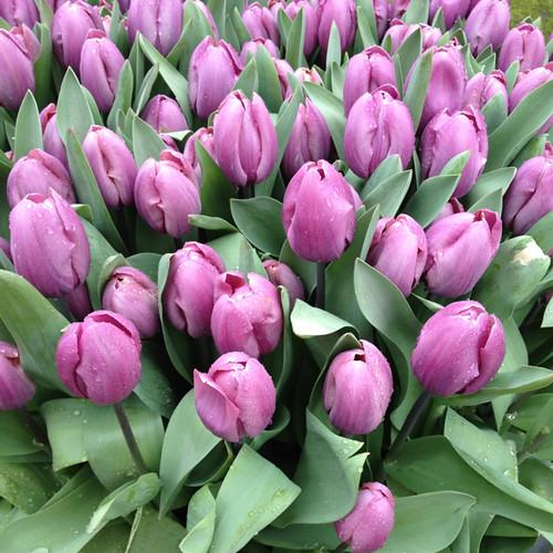 Tulips - mauve