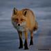 20130413-DSC_0313-K_Fox by Sinh11.