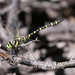Golden-ringed Dragonfly (Gerald Broddelez)