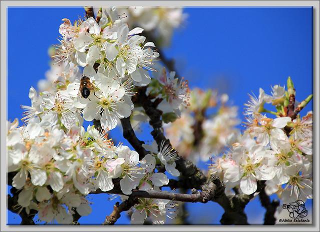 7 Caderechas en flor