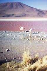 pink flamingos and red lake