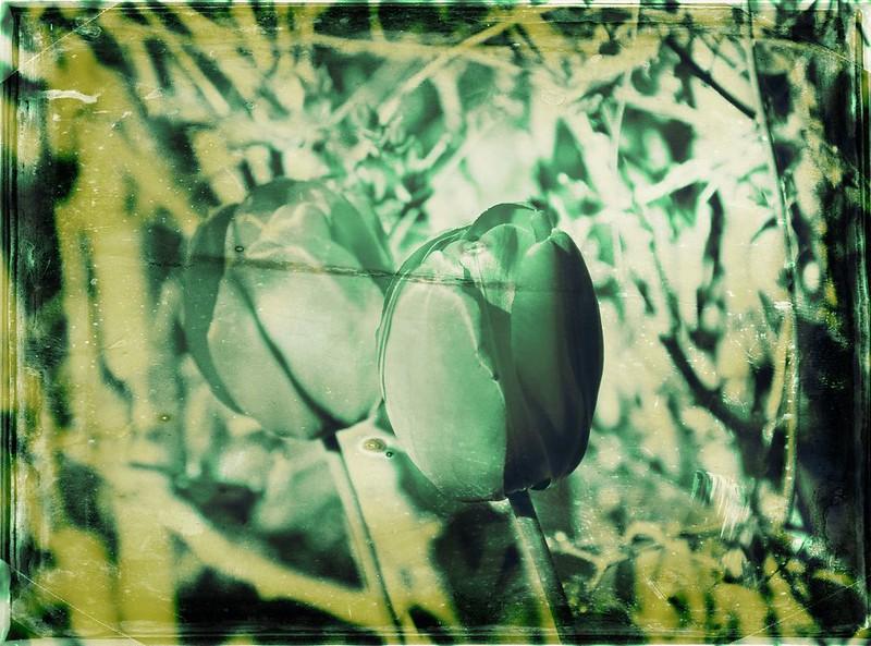 Darwin tulips green
