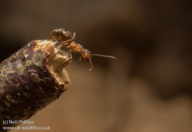wood ant Formica rufa-6