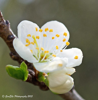 White Blossom Close Up