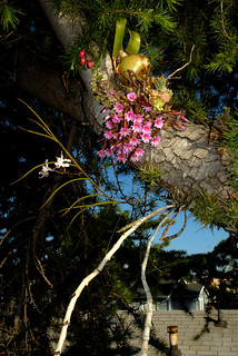 Hatiora rosea, Papilionanthe vandarum, Kalanchoe uniflora