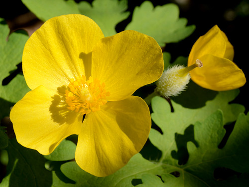 Celandine Poppy in the Forest