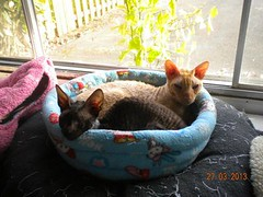 Cornish Rex for Adoption: Tasha & Branken