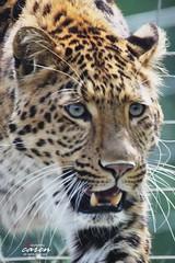 Chinesischer Leopard Julius 2013_05_01