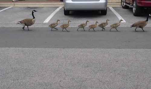 more goslings