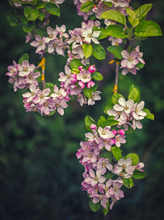 142/365 - apple blossom