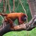 Small photo of Red howler monkey; bugio-vermelho (Alouatta seniculus)
