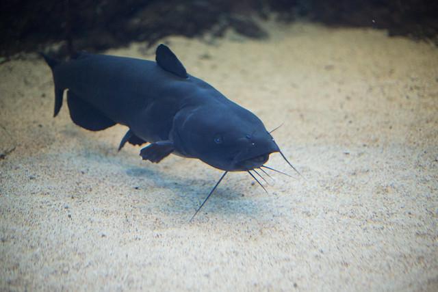 """ID Shark"" (Catfish)"