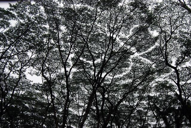 Kaniahiku Trees