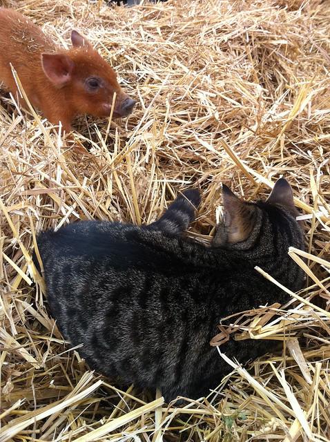 Katt och kulting