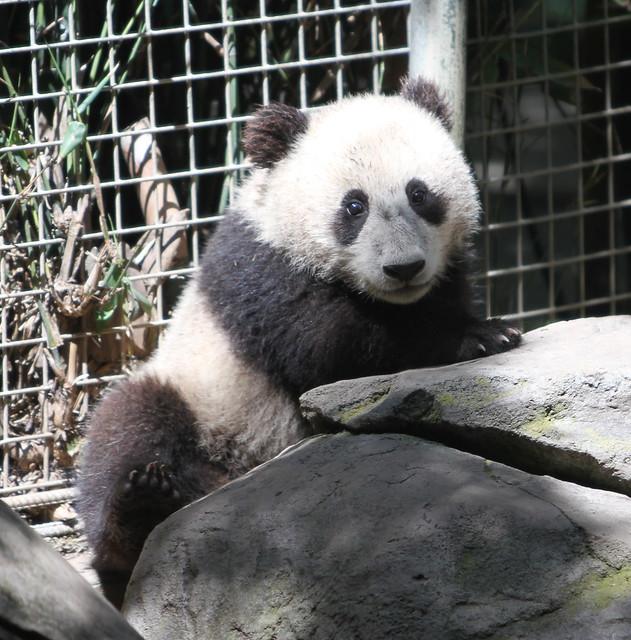 Mr. Wu at the San Diego Zoo Sunday