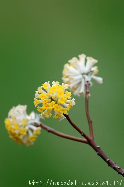 ミツマタ [Edgeworthia chrysantha]...