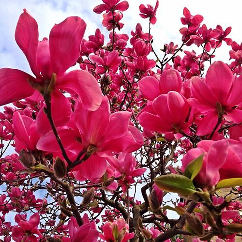#van4life #vancouver #beautifulvancouver #beautifulbritishcolumbia #magnoliatrees