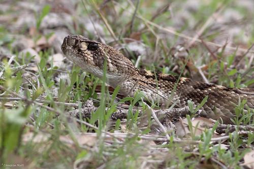 texas snake rattlesnake venomous forthood crotalusatrox westerndiamonbackrattlesnake