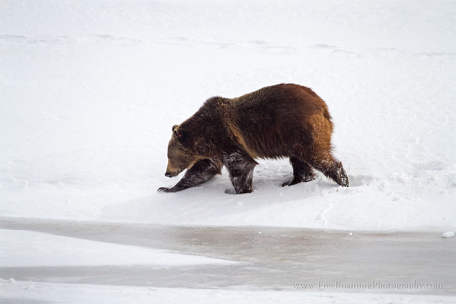 Grizzly bear walking - photo#19