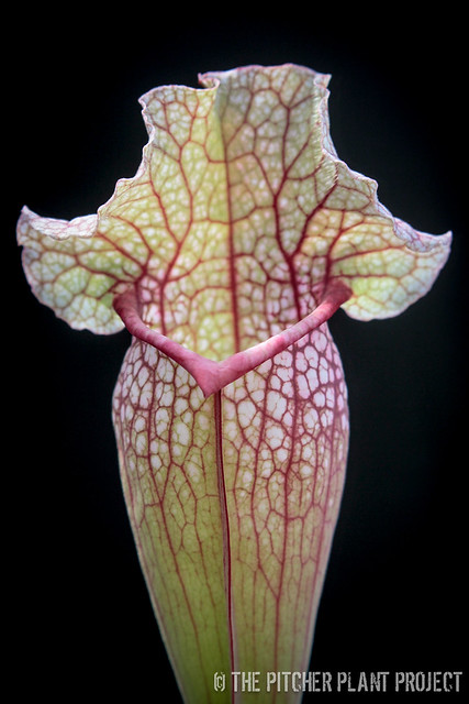 "Sarracenia leucophylla ""Purple Lips"" x rosea ""Big Mama"""