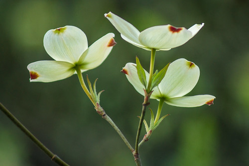 Dogwood trifecta