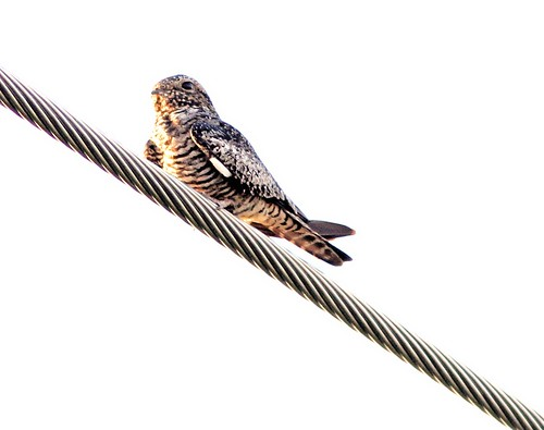 Common Nighthawk on wire 20130417