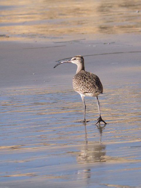 Whimbrel [identified]
