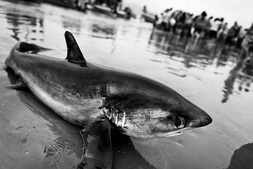 Shark slaughter