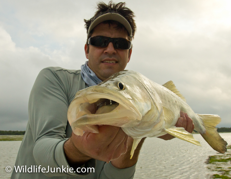 Everglades Snook