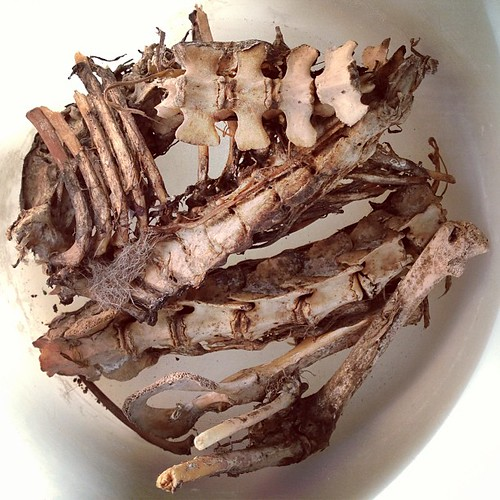 BONELUST BONE PROCESSING Q&A: What should the remains look like to begin maceration? This photo of opossum remains is a perfect example of when to macerate. Only a little dried on flesh and almost no fur on the bones. I just filled up this container with