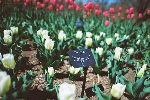Tulips @ Brooklyn Botanic Garden