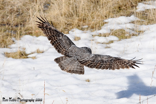 Great Gray Owl DSC_4270