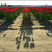 Skaget Valley Tulip Fields, Shadows, Washington State by Don Briggs