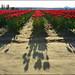 Skagit Valley Tulip Fields, Shadows, Washington State by Don Briggs