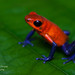Blue Jean Poison Dart-Frog by www.NeotropicPhotoTours.com