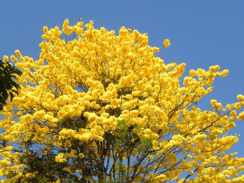 Golden trumpet tree tabebuia chrysantha for Arboles y arbustos para jardin