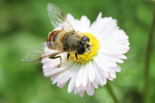 覓食的健康蜜蜂(圖片由SimonaDC提供)。